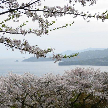 Sakura Season at the Yunoko Cherry Line