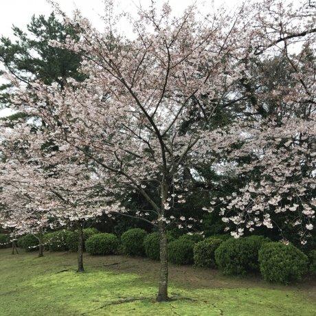 Sakura Season at Yamaguchi's Tokiwa Park