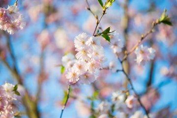 5 of Chugoku's Top Cherry Blossom Spots