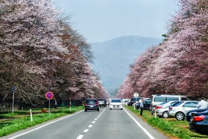 Part of the beautiful cherry-tree lined Shizunai Nijukken Road