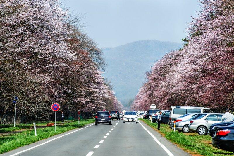 Part of the beautiful cherry-tree lined Shizunai Nijukken Road