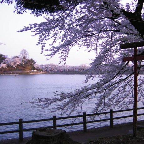 Sakura Season at Iwate's Takamatsu Park