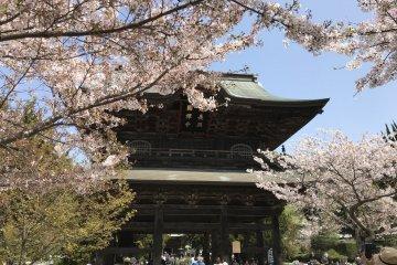 Kencho-ji during cherry blossom season