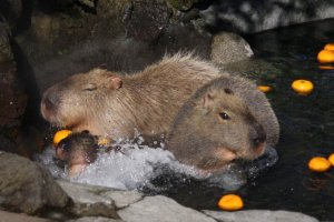 It's not just snow monkeys who enjoy onsen bathing - capybaras are big fans, too!
