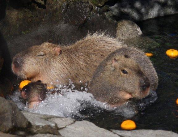 Capybara Onsen at Suzaka City Zoo