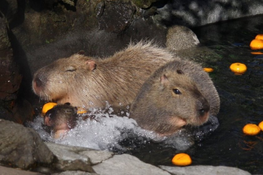 It\'s not just snow monkeys who enjoy onsen bathing - capybaras are big fans, too!