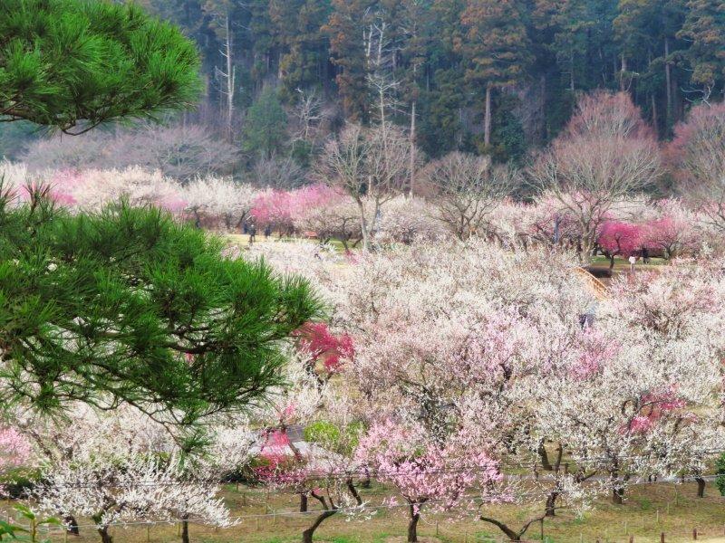 Kairakuen Gardens Ume Season