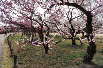 Senba Park Plum Trees