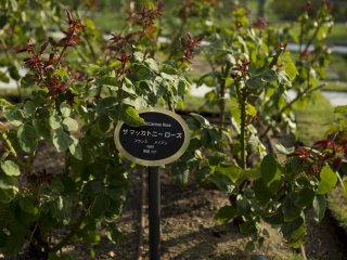 Each rose bush was an individual strain. This one was perhaps named after a particular member of The Beatles
