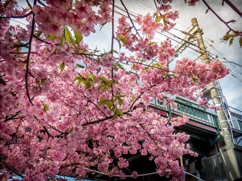 Over  a 1000 Kawazu Sakura trees line the streets