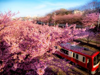 Most of the cherry blossoms run parallel to the Keikyu train line
