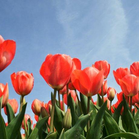 5 of Japan's Top Tulip Spots