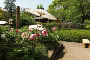 Ueno Toshogu Shrine's peony garden serves as a celebration of the friendship between China and Japan