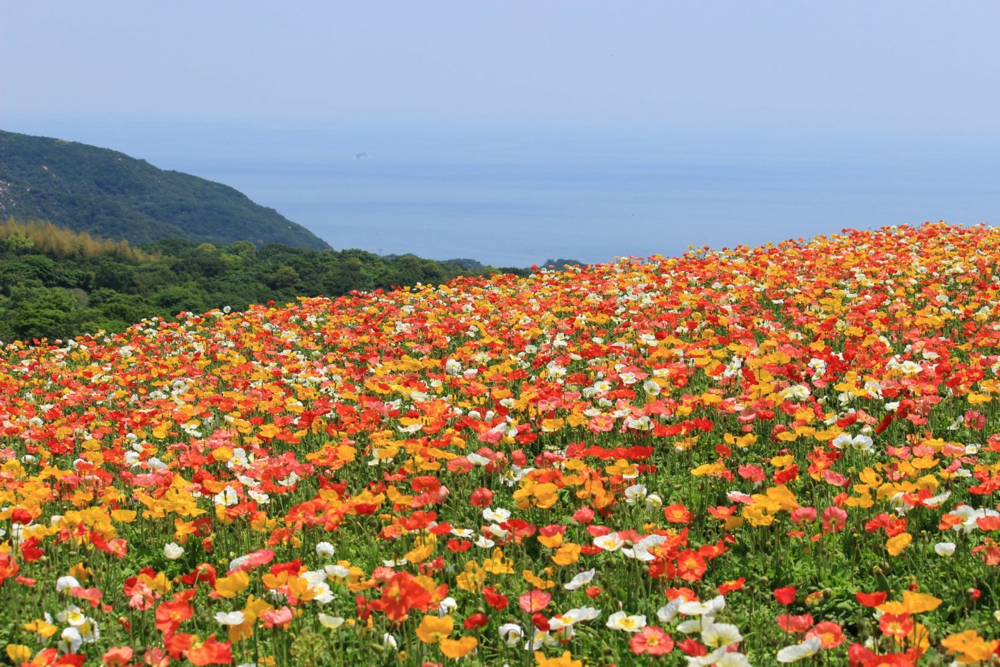 Poppies as far as the eye can see