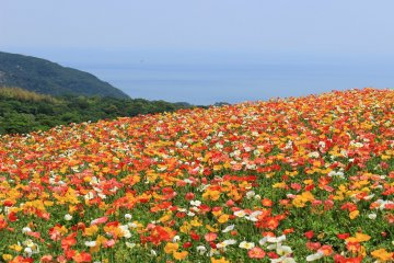 Poppy Season at Awaji Hanasajiki