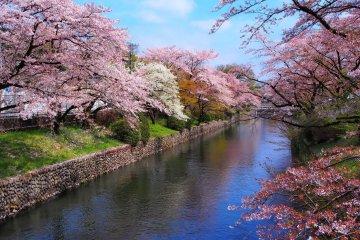 Cherry blossoms along the Tama River in Hamura City