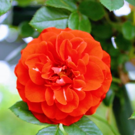 Rose Garden Spring Festival