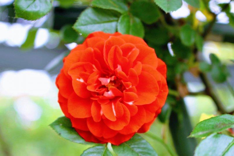Rose at Spring Festival