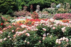 Keisei Rose Garden, Chiba