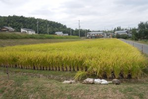 Green rice fields greet you on your journey to Shojiji