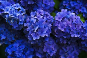 Flower Park Kagoshima will be celebrating all things blue