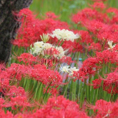 Hoa Higanbana ở Hidaka, Saitama