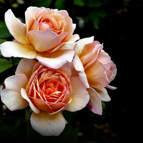 Sera Kogen Rose Festa