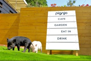 Visitors can spend time amongst adorable micro pigs in a relaxed setting