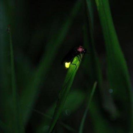 Firefly Viewing at Okawatakegasawa Park