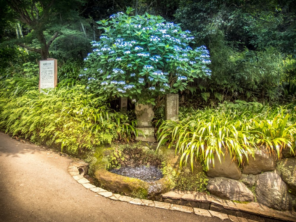 The first sight of the temple's hydrangeas