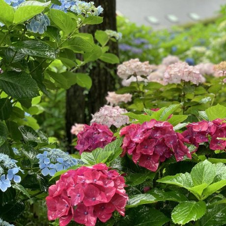 Hydrangea Season at the Mishima Skywalk