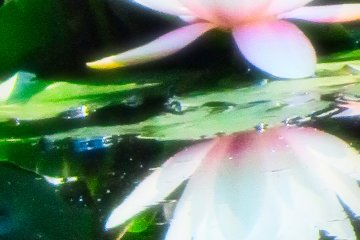Yokohama Children's Botanical Park water lily