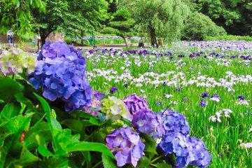 Yokosuka Iris Garden 2021