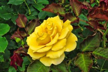 Odawara Flower Garden Yellow Rose