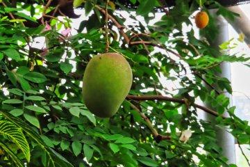 Mango in Green House