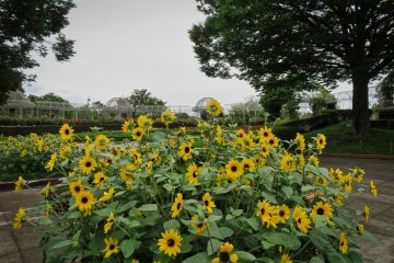 Odawara Flower Garden, July Sun Flowers