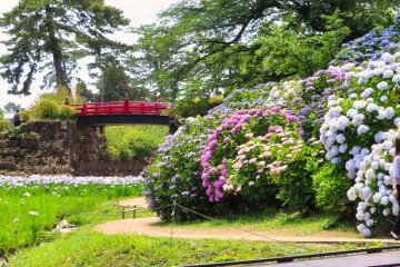 Castle Park Iris and Hydrangea, June 2021