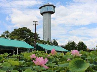 Kodai Hasu no Sato is a very photogenic lotus flower park in Gyoda City.