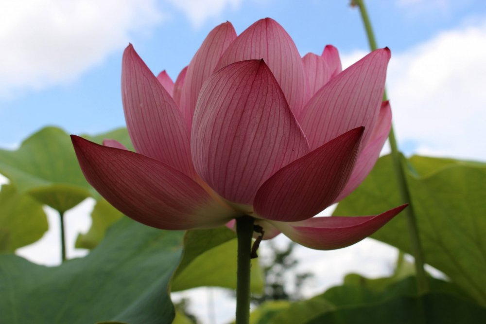 There is a large selection of lotus varieties in the park.
