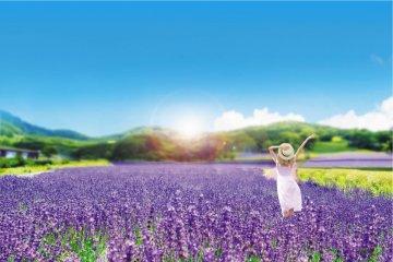 Lavender Season at the Tambara Lavender Park