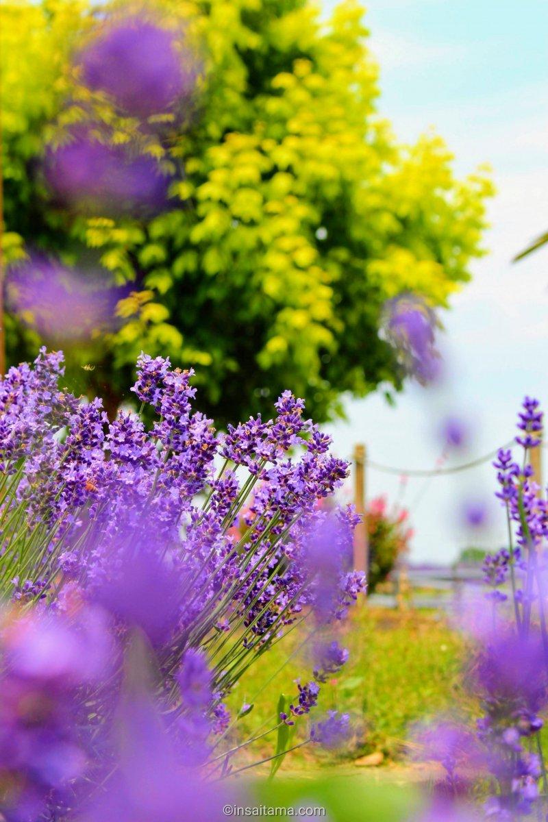 Lavender at the Blue Festival in Kuki City, Saitama Prefecture