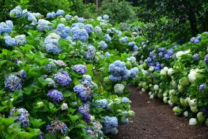Thousands of hydrangeas can be found at the Minamisawa Hydrangea Mountain