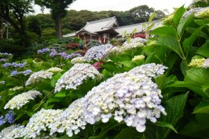 There are around 5000 hydrangeas planted on the temple grounds