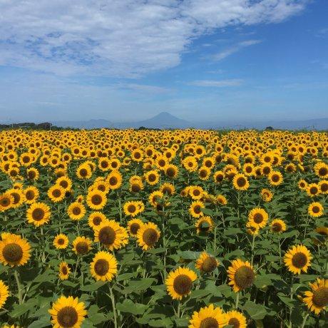 Sunflower Festa at Soleil Hill