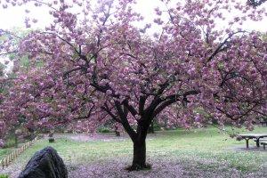 Быстротечность цветения сакуры