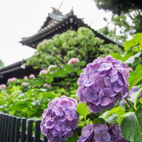 东京观赏紫阳花的绝佳地点