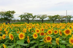 Sunflowers backdropped by cherry trees