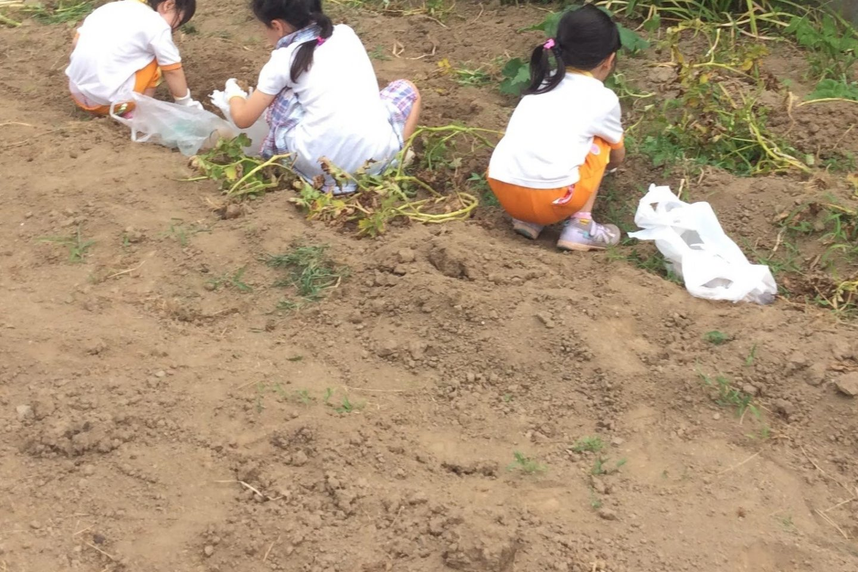 Sweet potato picking in Kawagoe