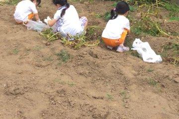 Sweet Potato Digging in Kawagoe