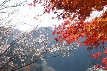 Four Seasons Cherry Blossom Festival